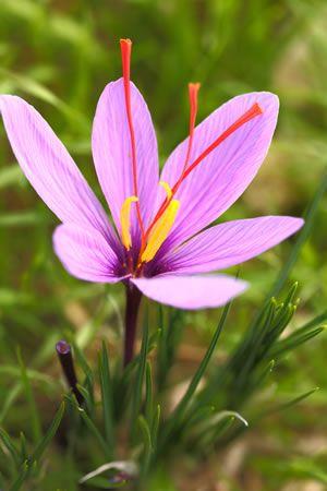 Krokus-Pflanze