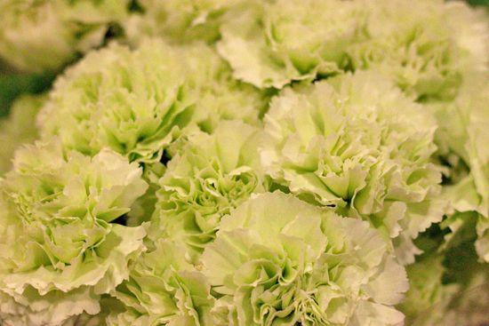 Goblin standard carnations @ Bloomfield