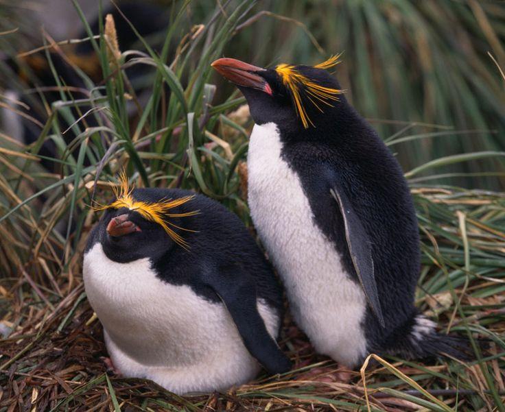 Macaroni Penguin - Subantarctic to Antarctic Peninsula