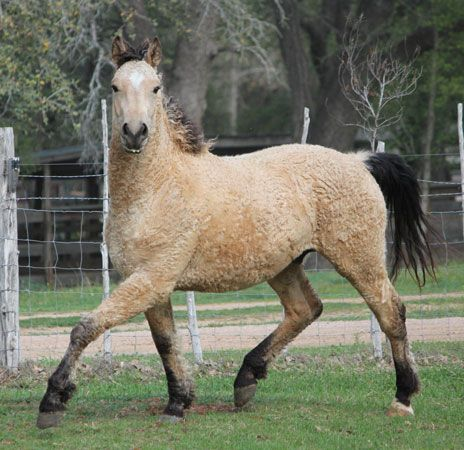 American Bashkir Horse is the only breed that is hypoallergenic, thereby not causing reactions in people who are allergic to horse dander. It looks like a labradoodle or a hybrid sheep-horse lol :)