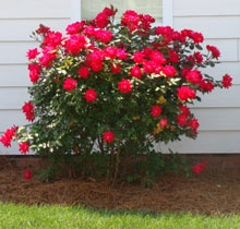 The Double Knock Out Rose depicts the next generation of low-maintenance rose gardening. With Double Knock Out Roses, you get double the color and hardiness of the originals. These beauties offer classic elegance in a robust and maintenance-free package.