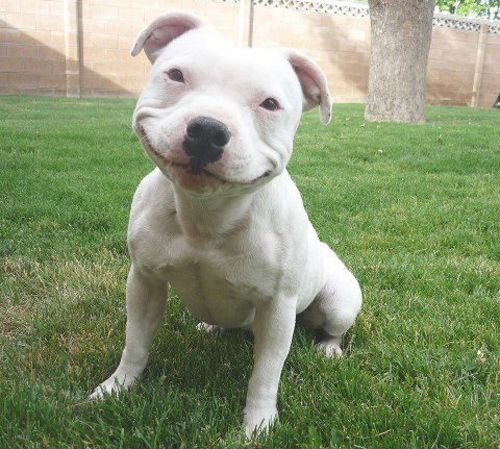 There is nothing like a pit bull smile :)  nolostdogs.org