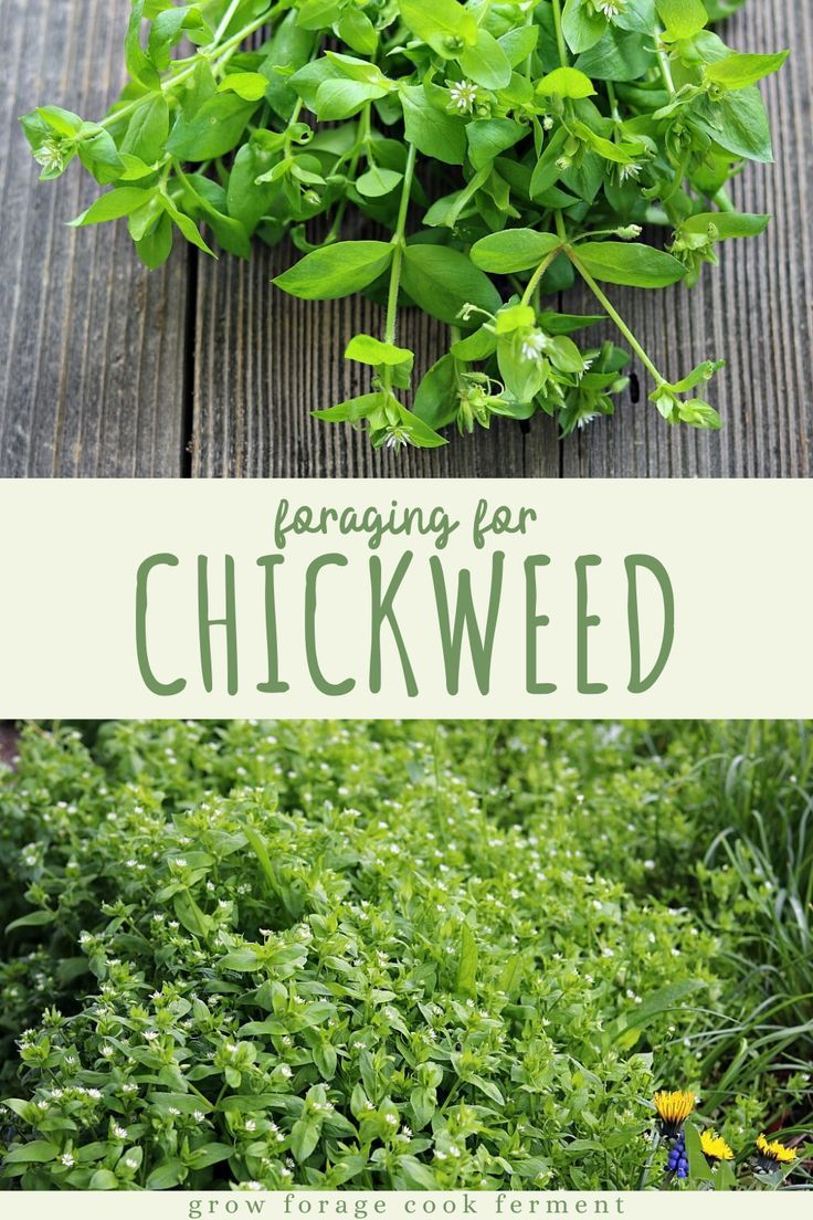 Pin On Wild Plants Herbs And How To Use Them