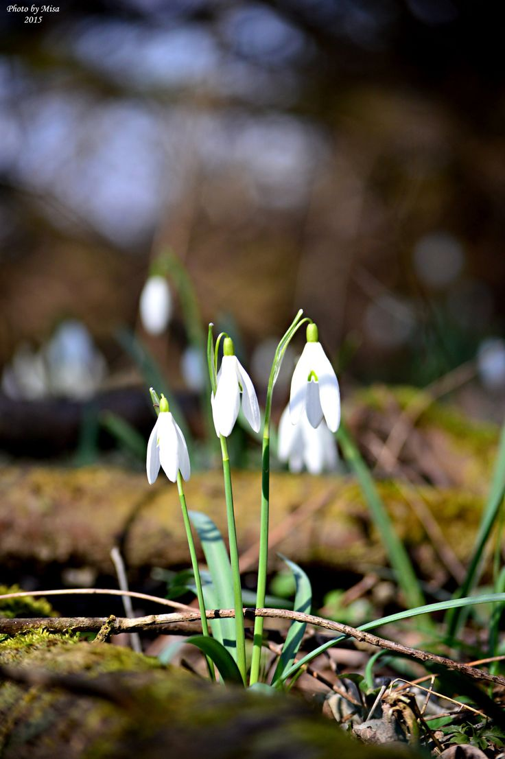 snowdrop by Mihály Metz on 500px