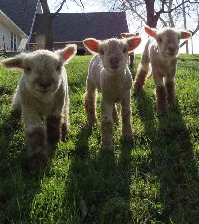www.MyLittleSheep.com southdown babydoll sheep