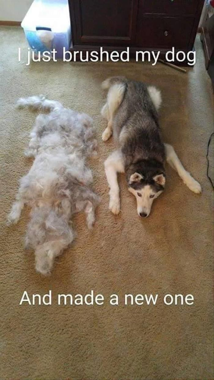 Two for the price of one, and the second eats and chews less. Siberian Husky owners can relate