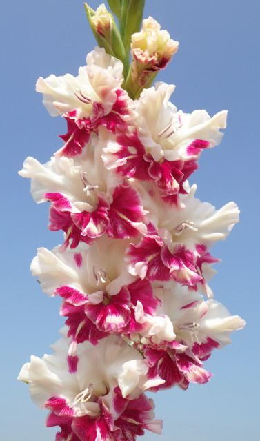 Gladiolus 'All is Rosy' (Gladiolus x hortulanus) | See more about gladioli.                                                                                                                                                      More