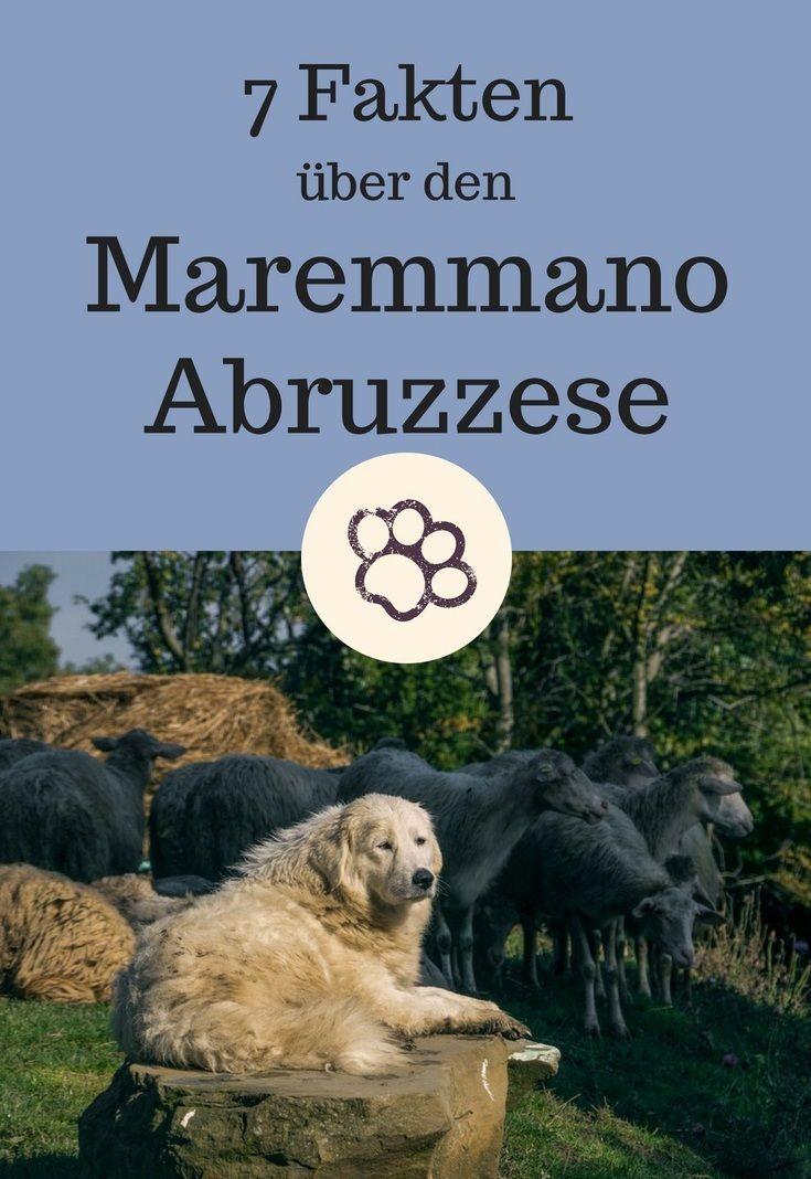 Maremmano Abruzzese 7 Interessante Fakten Uber Die Maremmanen Hirtenhunde Meinhund24 Hunde Rassen Hunde Hirtenhund