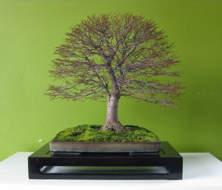Stunning Zelkova bonsai tree, by Alain de Wachter.