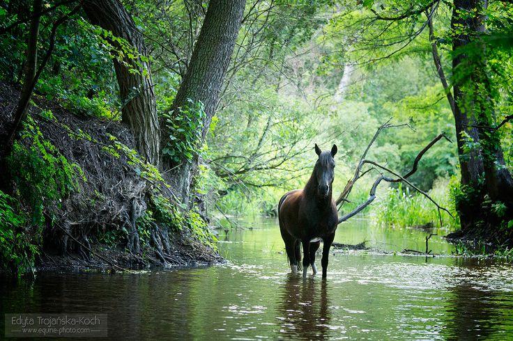 Huzul gelding in the stream