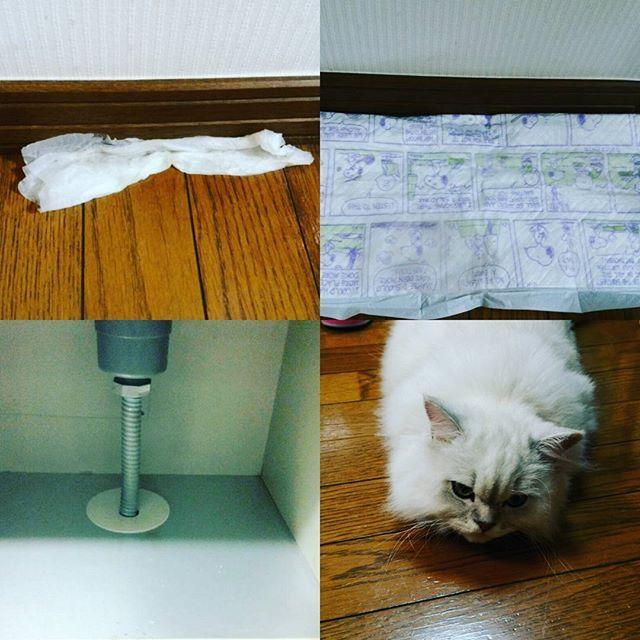 キッチンの横の壁下の床から 昨日より水がふつふつ湧いてきてます😱 ティシュはすぐびしょ濡れなのでレオンのトイレに敷いてるシートを置きました。 どーやらキッチンで水流すとわいてくるような?? 水道屋さんが夕方くるので痛い足を引きずりながら(笑)シンク下掃除💦💦 20年でこんななるのかなぁ?夏は外の壁から水😱😱 そして今レオンは、カーペットで身体が温めては冷やし😆の繰り返ししてます😅  #チンチラシルバー#レオン#愛猫#水漏れ#キッチン#シンク下#床から湧いてくる#排水管から怪しい素人目ですが