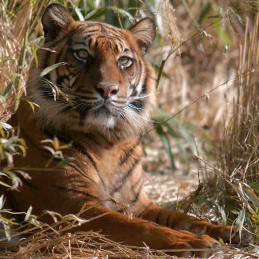 150 high resolution pictures of tigers, tigers' faces, tigers sleeping, tiger cubs, white tigers, tigers in water, and more!
