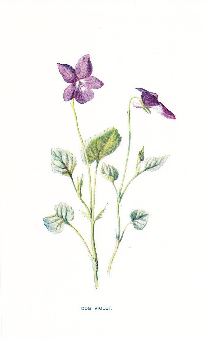 1900 Botany Print - Dog Violet - Vintage Antique Flower ...
