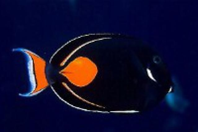 9 Reef Safe Fish for Saltwater Aquariums: Tangs (Surgeonfish)