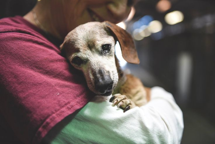 Blind & Covered With Fleas... All This 18 Year Old Dachshund Wants Is To Be Held and Loved
