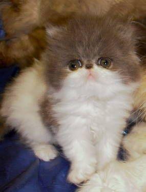 Blue~White persian kitten