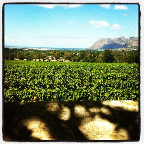 View across vineyard, Jonkershuis Groot Constantia, Cape Town, South Africa