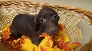 Reeses is an adoptable Weimaraner Dog in Greenville, SC.  ...Give me a break!  I want another puppy...: Adoption Weimaraner, Weimaraner Dogs