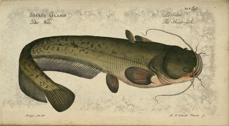 Siluris glanis from Oekonomische Naturgeschichte der Fische Deutschlands