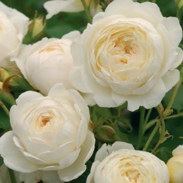 English Garden Rose: English Roses, David Austin Roses, White Rose, White Garden, Gardens, Garden Rose, Rose Garden, Flowers