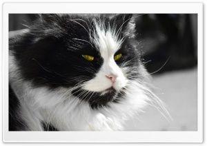 Doubtful Cat HD Wide Wallpaper for Widescreen