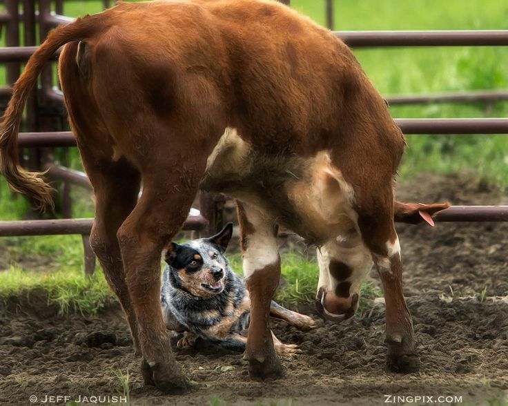 Australian Cattle Dog at work! another wonderful picture of ZingPix!!!