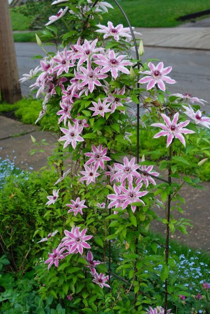 It is a good idea to shield the root balls of my Clematis from intense sunshine. Here, Clematis 'Nellie Moser' is shaded by Sedum 'Autumn Joy', Geranium macrorrhizum 'Bevan's Variety' and an arbor vitae ball to one side.