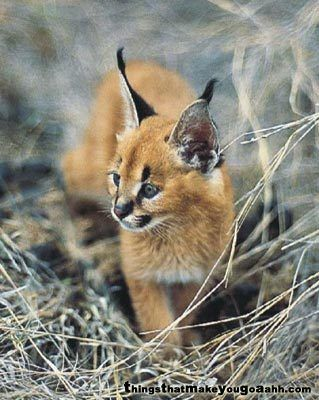Caracal KittenSpock Ears, Things Adorable, Baby Lynx, Caracal Cat, Tinki Animal, Wanna Pets, Kittens Adorable, Baby Caracal, Caracal Kittens