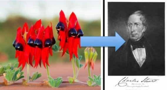 Can't quite see the resemblance...but maybe this dude hiding something. The Sturt's desert pea is named after explorer Captain Charles Sturt's circa early 1800's. Nice bow tie mate ;) visit our kickstarter http://kck.st/2nSF1iG