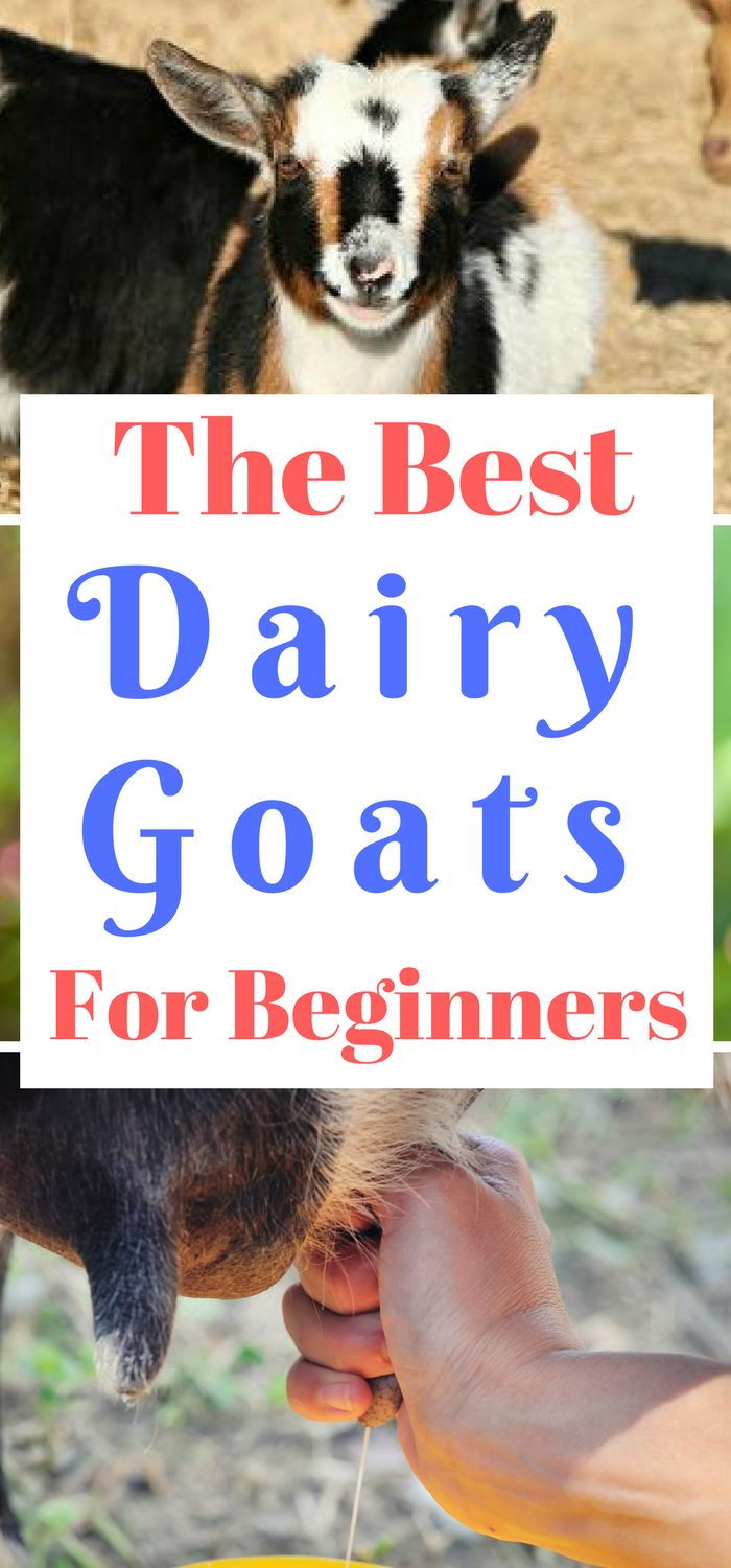 The Best Dairy Goats for Beginners - homesteads and farms,