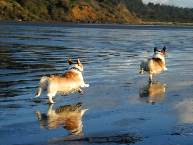Follow Your Bliss - er - Corgi! | Kipper & Ricky, two cute Pembroke Welsh Corgis, following bliss - via Flickr - Photo Sharing! © Steve (SteveWA)