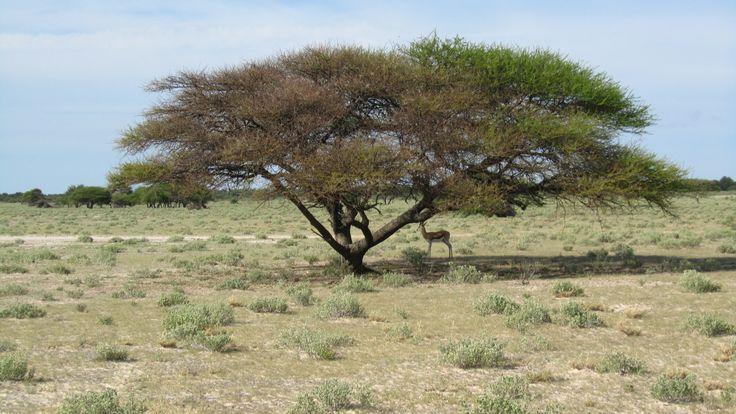 #UmbrellaTree #CentralKalahari #Safari #Botswana #Haina