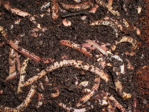 59 best worm farming images on pinterest worm farm earthworms my dad raised red wiggler wormsi had to count them fandeluxe PDF