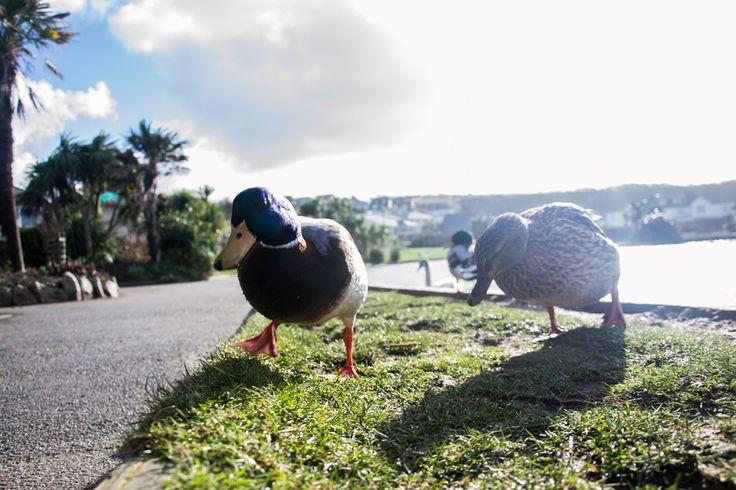 Maiden in Cornwall - Swanning Around - Perranporth boating lake ducks