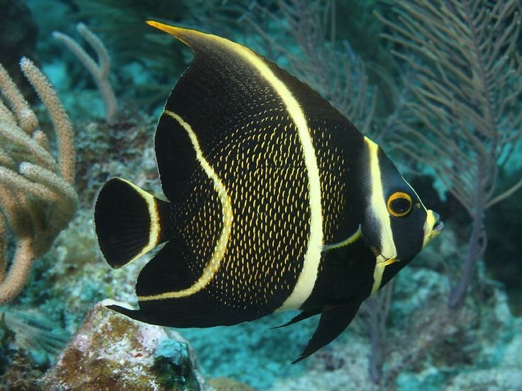 The French Angelfish is known to inhabit the Western parts of the Atlantic Ocean as well as the Gulf of Mexico and the Caribbean waters. This gorgeous sea creature features a dark colorway complemented by yellow stripes, and it can grow up to 15 inches. A big part of its diet consists of sponges, and even though it is quite a sight to behold, the French Angelfish is also being sold at markets due to its tasty flesh.