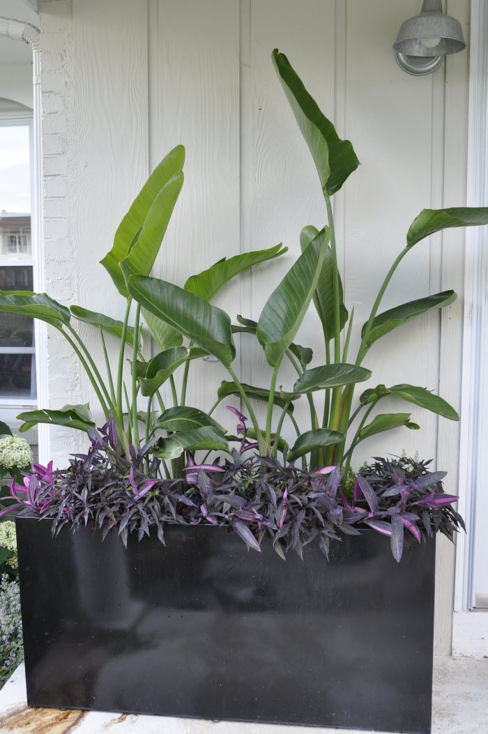 The height comes from Birds of Paradise (Nicola strelitzia) planted in the back and the trailing is Ipomoea batatas 'Blackie Sweet Potato Vine' and Tradescantia pallida 'Pink Stripe'. What you cannot see is Asparagus deniflorus 'Myers' – Foxtail Fern