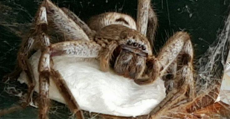 Australia proved once again it is the undisputed king of spiders after a huntsman, endearingly named Hortense, and her 100 or so children moved into a mailbox in a Victoria home. Video from November 21, taken by North Bendigo woman Natasha Joyce, shows her opening her mailbox and finding a Holconia huntsman, which The Bendigo Advertiser reported as having lived there for six weeks . Over that time, the mother stood by the egg sac as hundreds of spiders began to hatch.   The video shows…