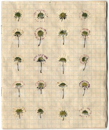 Tea stained exercise book containing pressed daisies from different locations.