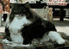 Fat cat being fat - www.viralpx.com