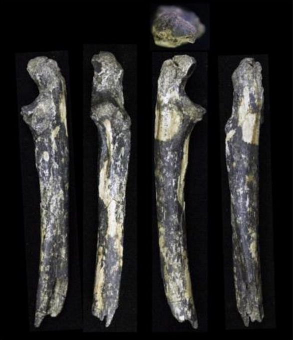 The fossilized teeth and forearm bone from an adult male and two infant Australopithecus afarensis that researchers uncovered near the outskirts of Nairobi, Kenya.