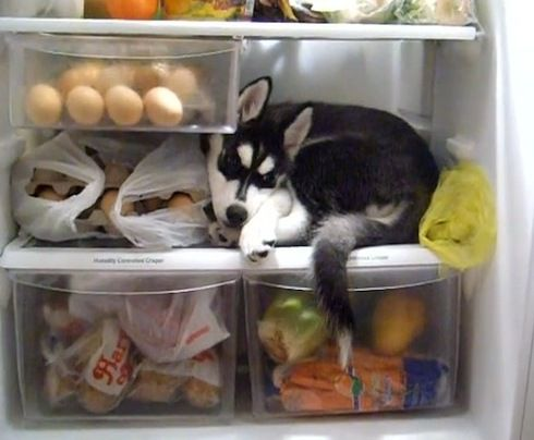 Adorable Husky puppy finds unusual place to cool off (VIDEO) » DogHeirs | Where Dogs Are Family « Keywords: fridge, husky, cool, cold