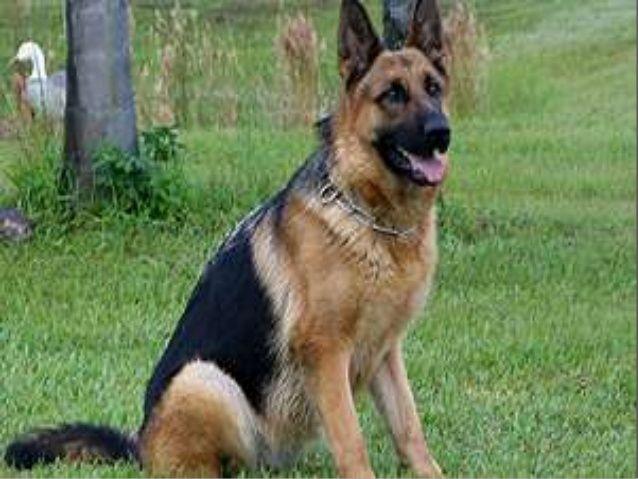 Image result for buy german shepherd