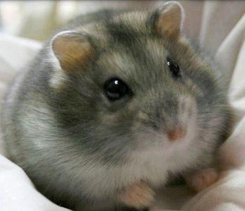 Russian (dwarf) Hamster