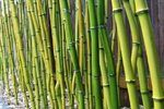 How to Grow Moso Bamboo Seeds | eHow