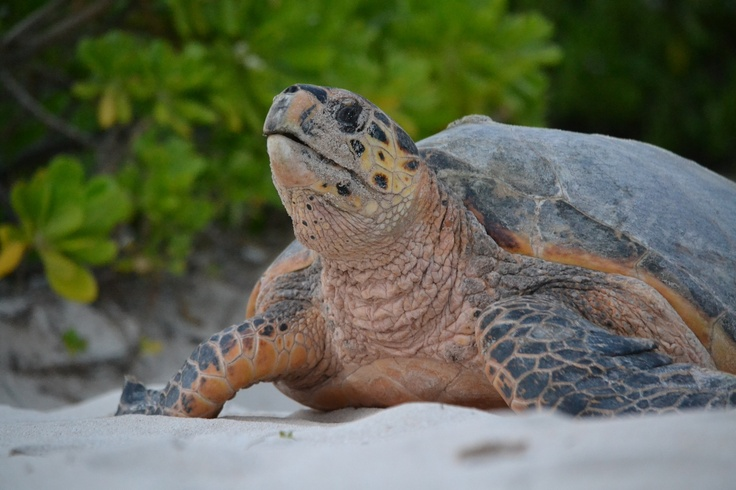 Pasture Bay Beach is one of the world's principal nesting sites for the endangered Hawksbill Sea Turtle (July through November) at Jumby Bay, A Rosewood Resort in Antigua