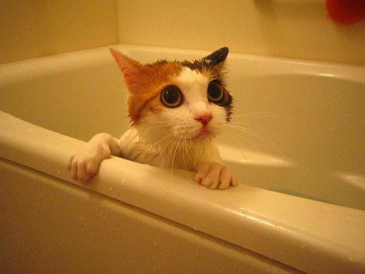 お風呂がニガテな猫もいますが、大好きな猫もいます。びっくりしたり、オドオドしたり……。