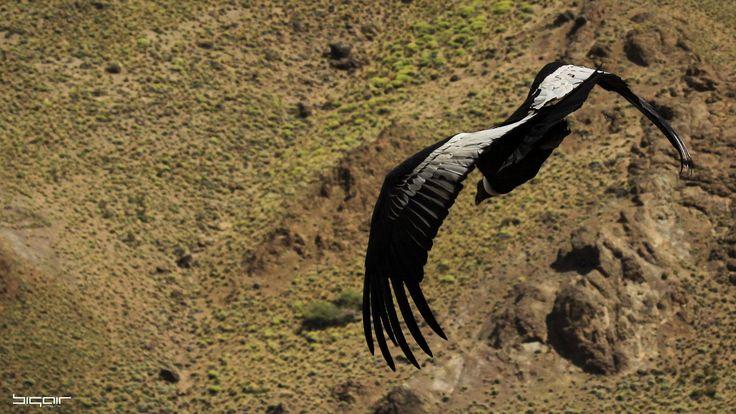 Andean Condor Malleo River, Junín de los Andes, Patagonia Argentina. Canon EOS 50D Lens EF 70-300mm f/4-5.6 IS USM @ 300mm 1/5000 sec f/5.6 ISO 500