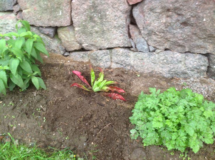 Nyköpt planta från Sinnenas trädgård. Det är stort nattljus som blir ca 1 m hög och blommar med gula blommor i juli.