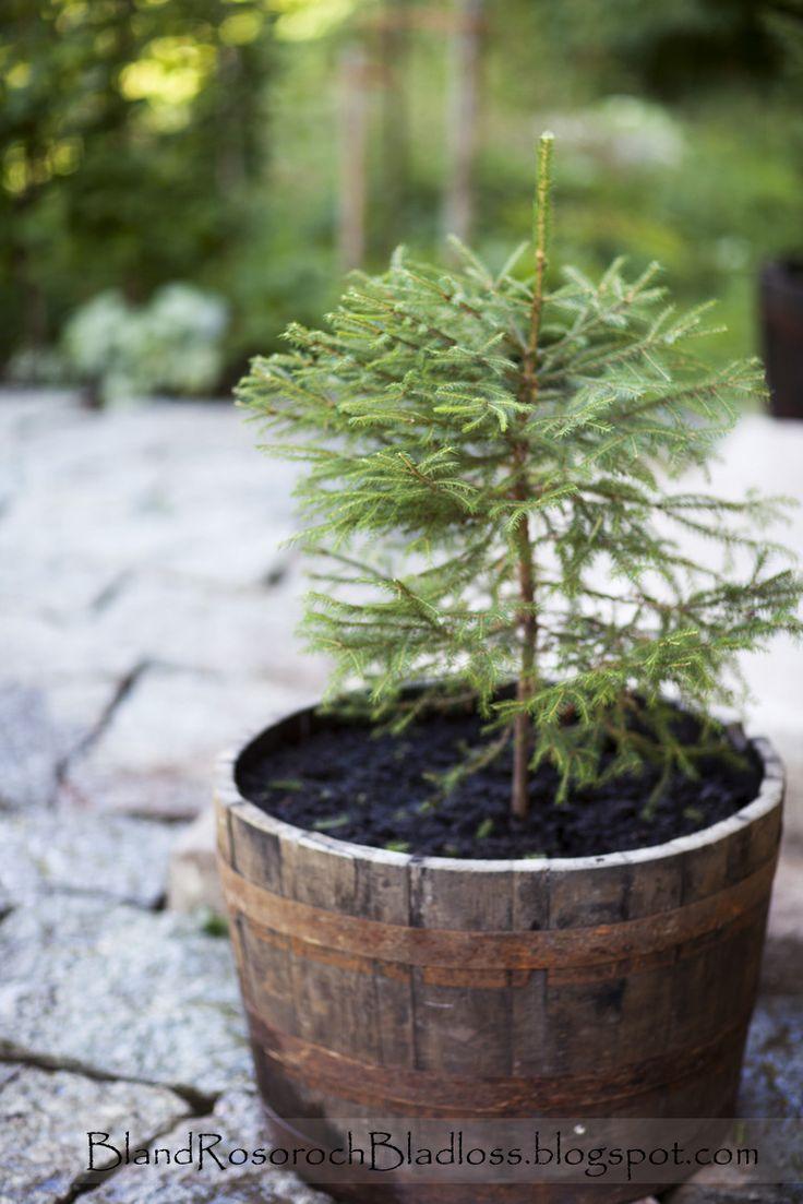 Pinjeträd, pine tree