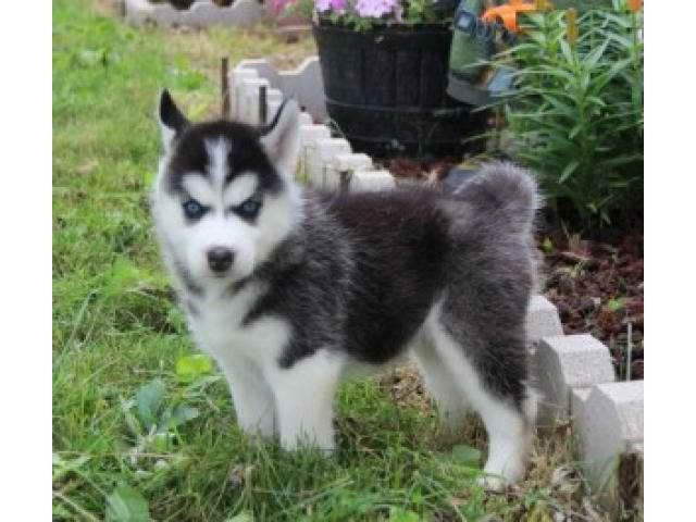 Baby Husky For Adoption